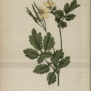 Atlas_colorié_des_plantes_médicinales_[...]Hariot_Paul_bpt6k6149866v_81